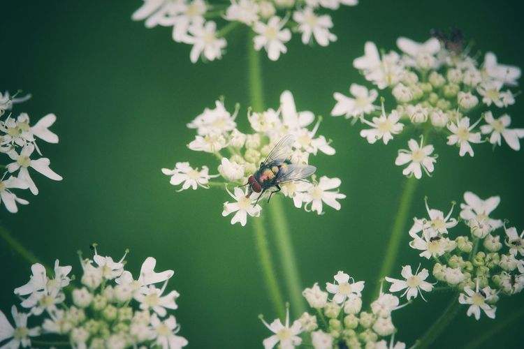 Close-up of housefly on white flowers