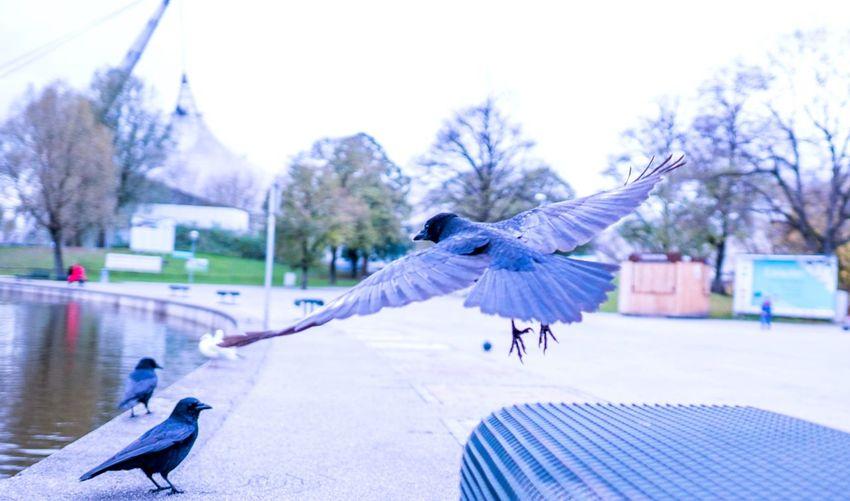 Raven Fly Bird