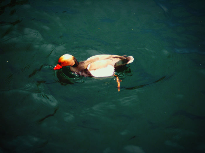 High angle view of ducks in sea