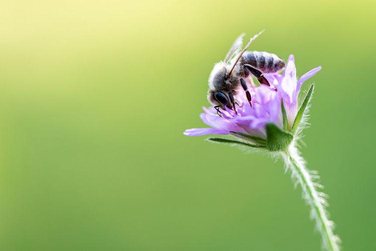Close-up of honey bee on purple flower
