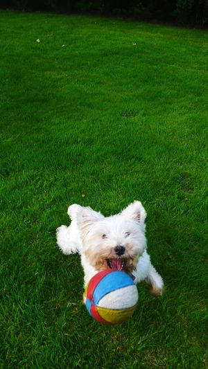 Summer Dogs Open Mouth Catch Ball Eye On The Prize Westie Westhighlandterrier Green Grass White Dog Small