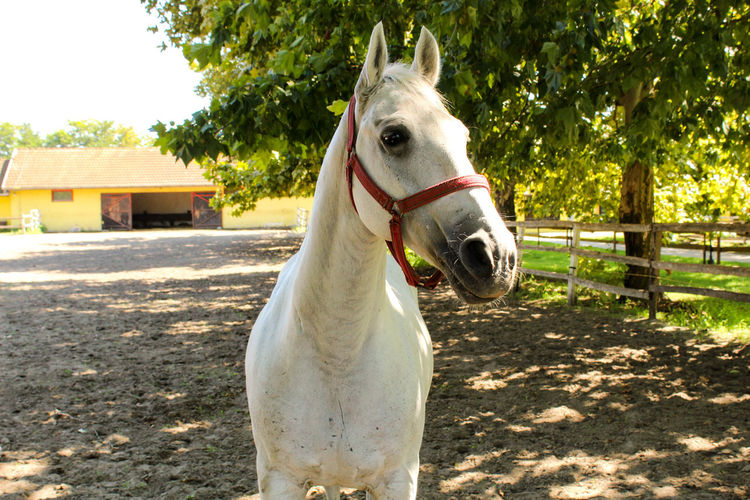 Portrait of white horse in ranch