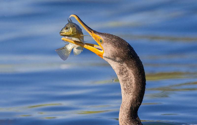 Close-up of cormorant catching fish