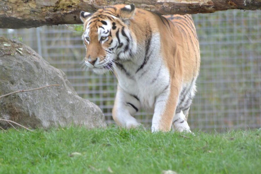 Animal Themes Tiger Tiger Love Tiger Cat Big Cat Zoology Zoo Animals  Zoo