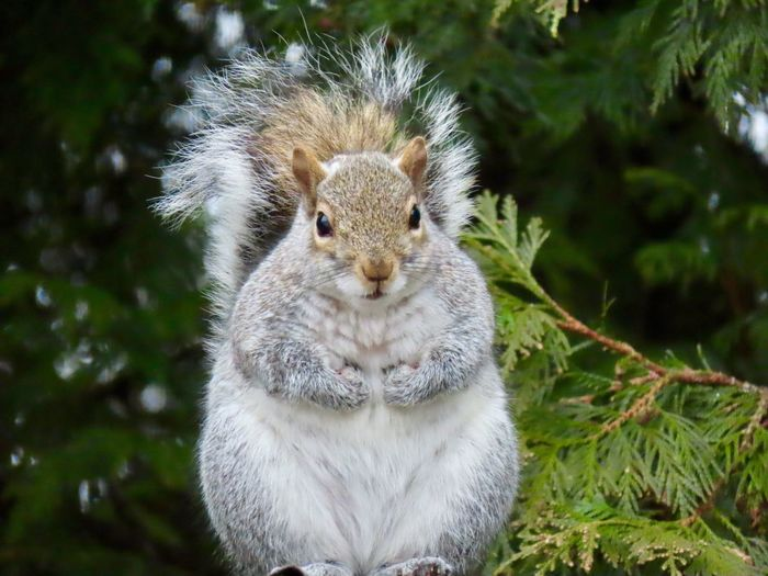 Squirrel sitting up looking at the camera animal themes closeup focus on the foreground EyeEm nature lover green trees outdoors One Animal Animal Wildlife Rodent No People
