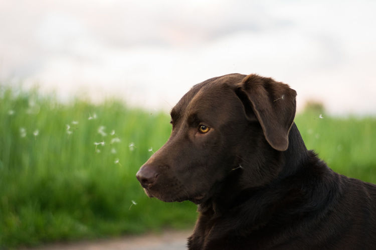 Dog Pets One Animal Labrador Retriever Retriever Portrait Outdoors Day No People Close-up Dogslife Dogs Labrador Doglover Lab Dogoftheday Labradorable  LabradorRetriever Animal Themes Nature Field