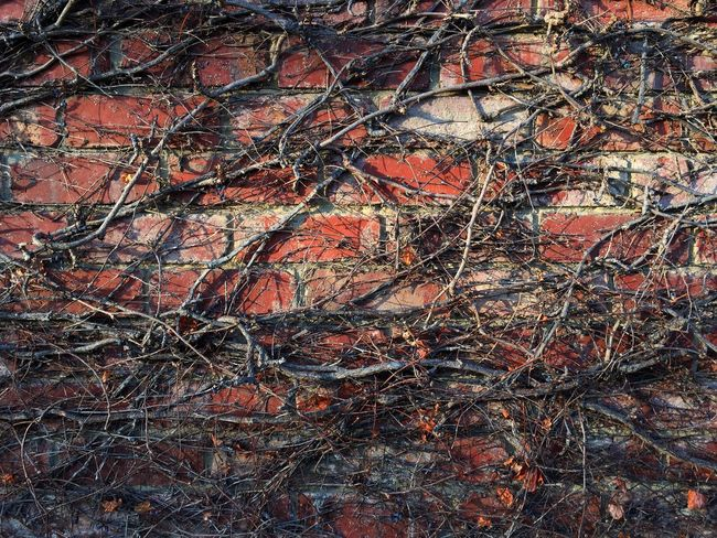 Brick Wall Brick Wall Backgrounds Textured  Rough Abstract Close-up Texture Pattern Creeper Plant Foliage Morning Light Overgrown