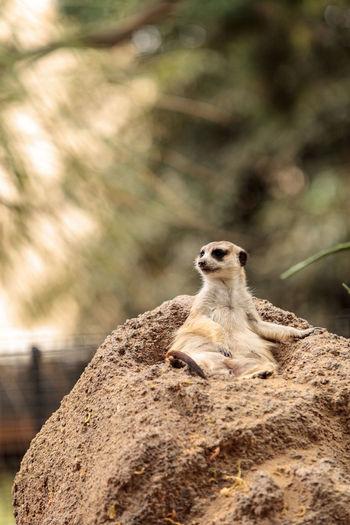 Close-Up Of Meerkat Sitting Outdoors