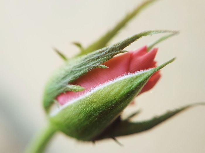 Close-up of rose against beige background