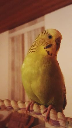 Animallovers Cheese! Posing For The Camera Budgerigar Happy Anímals Birds_collection Animal_collection Sweet