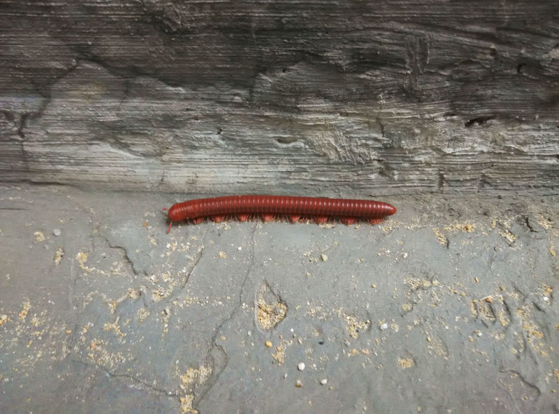 Millipede Centipede Chilopoda Millipede Myriapod Red Scolopendra Warm