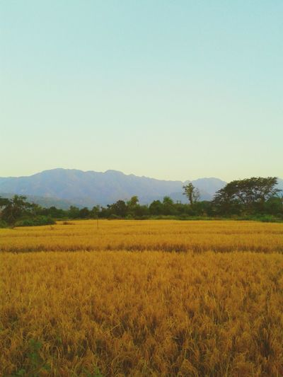 Rice Fields Nature_collection Landscape_Collection Eyeem Philippines Potpotography
