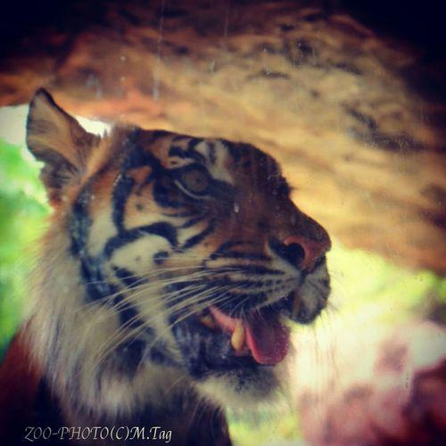 Animals ZOO-PHOTO Zoo 上野動物園 スマトラトラ ごっつん 痛い!
