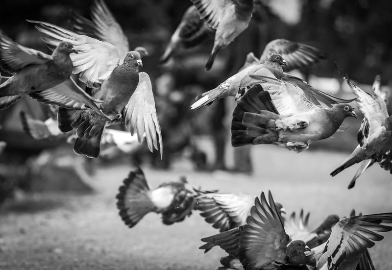 Pigeons Bird Animal Themes Animals In The Wild Spread Wings Flying Animal Wildlife Focus On Foreground No People Nature Mid-air Outdoors Day Close-up Beauty In Nature This Week On Eyeem Pigeon Black And White Friday