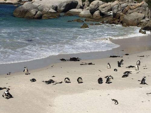 Penguins on the beach Penguins Beach Sand Water Sea Nature Large Group Of Animals Beauty In Nature Rock - Object Animal Themes Scenics Animals In The Wild Bird
