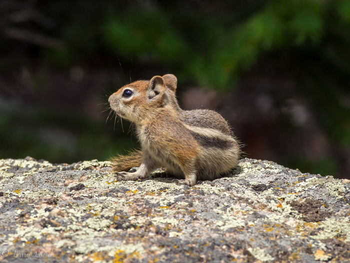 Begging for treats... Nature Hiking Colorado Chipmunk Olympus M43 Wildlife Animals In The Wild Animal Photography Animal Portrait Cute Animals