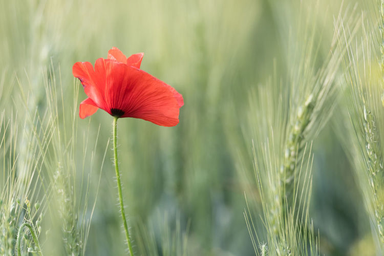 Agriculture Plant Rural Wheat Field Blooming Close-up Countryside Delicate Fields Floral Flower Fragility Freshness Growth Meadow Nature Outdoors Petal Poppy Red Color Season  Summer Sunlight ☀ Vulnerability  Wild