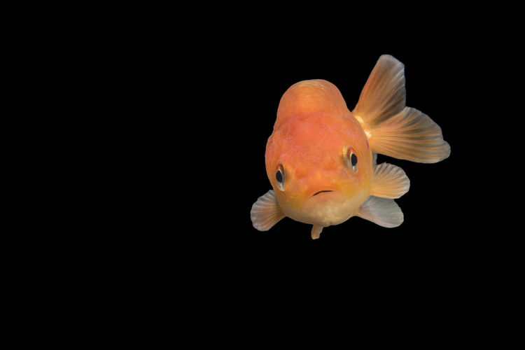 Goldfish With Wondering Face