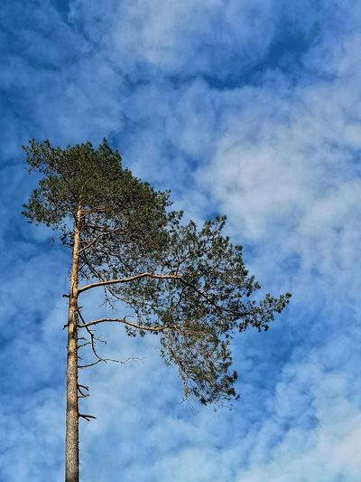 Lithuania Nature Europe Outdoors Pine Pine Tree Sky Cloids Cloudy Sky Single Object Single Tree Sky Cloud - Sky Treetop Pine Wood Evergreen Tree Needle - Plant Part Eastern Europe