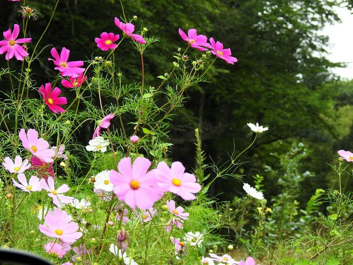pink cosmos Garden Photography Garden Pretty In Pink Floral Floral Photography Flower Collection Flower Photography Cosmos Flower Gardening Flower Garden NikonP900 Flower Head Flower Pink Color Petal Springtime Summer Plant Close-up Blooming Cosmos Flower Plant Life Botany Softness Stem In Bloom Blossom