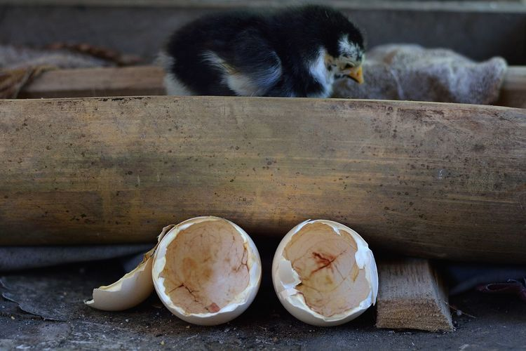 Side View Of Baby Chicken On Wood By Eggshell