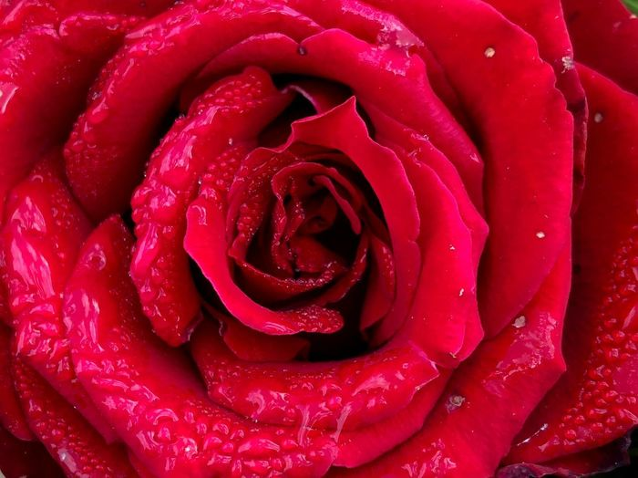 Red Autumn.... Red Getting Inspired Red Rosé Inflorescence Full Frame Flower Head Drop Plant Rose - Flower Petal Flower Wet Freshness Close-up Backgrounds Beauty In Nature Fragility Vulnerability  Growth Nature Flowering Plant This Is Natural Beauty 50 Ways Of Seeing: Gratitude