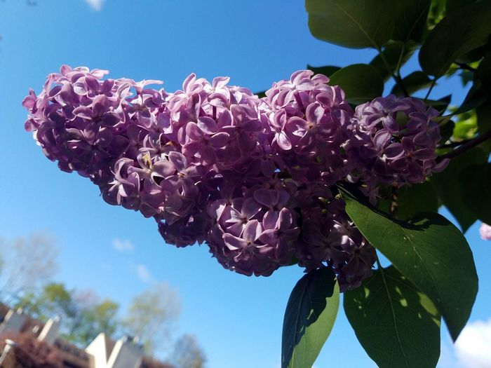 Flower Fragility Nature Plant Leaf Low Angle View Freshness Beauty In Nature Blossom Close-up No People Springtime Outdoors Day Tree Growth Lilac Flower Head Branch EyeEm Nature Lover The Purist (no Edit, No Filter) EyeEm Gallery This Week On Eyeem