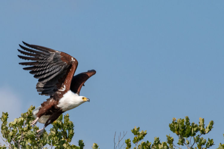 Fish eagle taking off Birds Of EyeEm  Animal Animal Themes Animal Wildlife Animals In The Wild Bird Birds In Flight Blue Clear Sky Day Eagle Fish Eagle Flying Low Angle View Nature No People One Animal Outdoors Plant Sky Spread Wings Tree Vertebrate