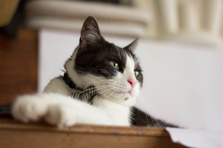 v(ΦwΦ)Ψ YORI is as clever as handsome. 嚕嚕呼嚕 攝影 猫 羊咩咩 貓咪 키티 Cat Chat Die Katze Gato No People One Animal Photography кошка बिल्ली ねこ 攝影 猫 貓咪 賓士貓 黑白貓 키티
