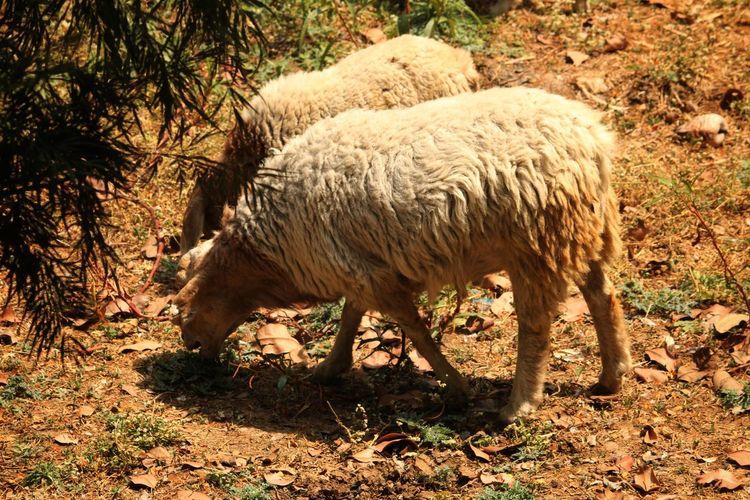 Sheep Sheeps