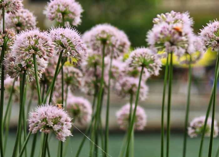 Chive blossoms with bees pollinating along the Chicago River. Chicago Riverwalk Chicago Downtown Chives Blossom Beauty In Nature Bee Blooming Close-up Day Flower Flower Head Focus On Foreground Foreground Fragility Freshness Growth Nature No People Outdoor Photography Outdoors Petal Plant Pollination Purple Flowers Stems Urban Landscape