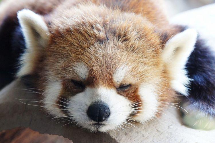 Animal Themes Panda - Animal PANDA ♡♡