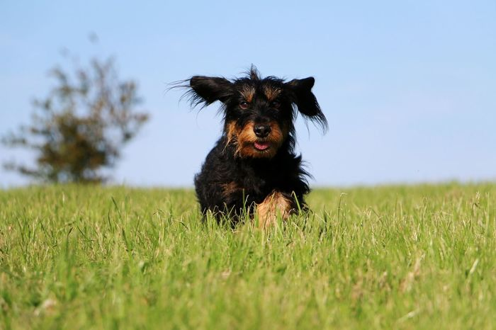 wire haired dachshund is running in the park Dackel Funny Teckel Action Active Animal Themes Clear Sky Dachshund Day Dog Domestic Animals Field Garden Grass Mammal Nature No People One Animal Outdoors Park Pets Portrait Sky Wire Wire Haired