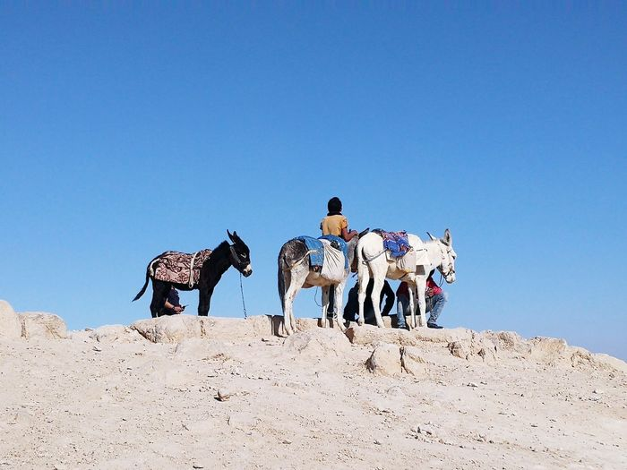 People with donkeys standing against clear blue sky