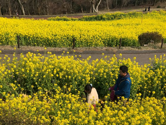 Japan Flower Yellow Yellow Flower Landscape Beauty In Nature Day Scenics Outdoors
