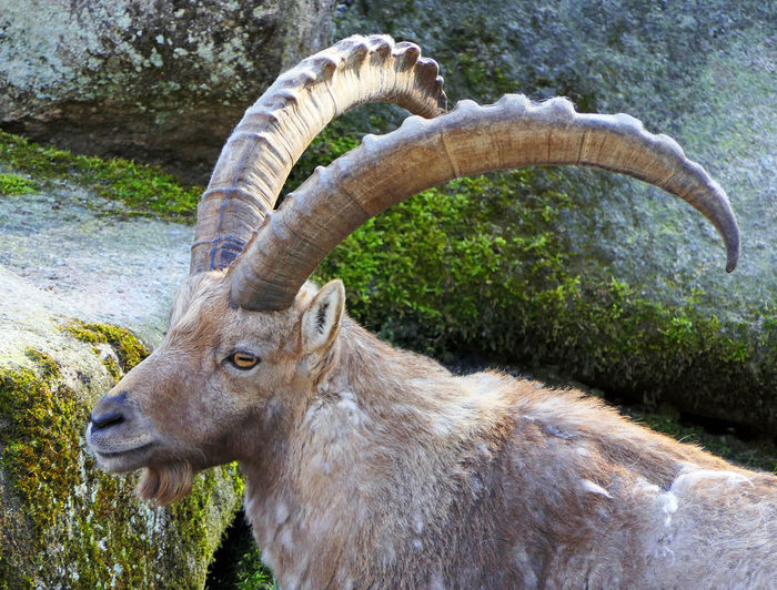 One Animal Animal Wildlife Mammal No People Animals In The Wild Day Vertebrate Nature Animal Body Part Plant Horned Land Close-up Outdoors Domestic Animals Side View Herbivorous Profile View