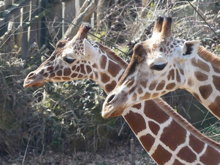 Giraffe in zoo