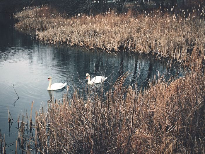 Birds of Winter Lake Water Bird Animals In The Wild Nature Animal Themes Grass No People Swimming Animal Wildlife Outdoors Day Swan Beauty In Nature