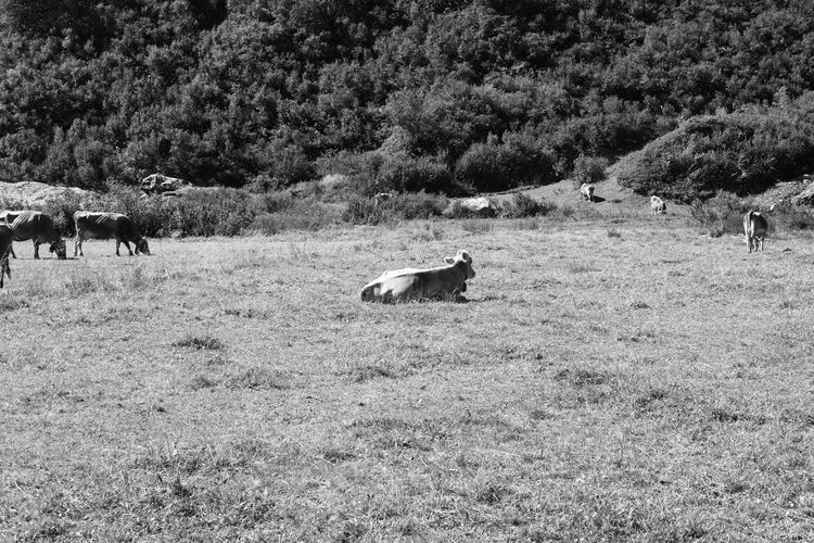 View of a sheep on field