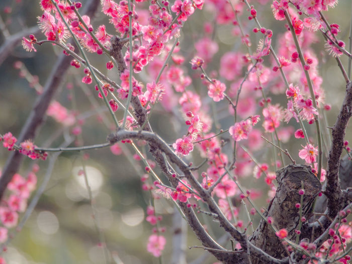 Pink Cherry Blossoms Blooming On Tree