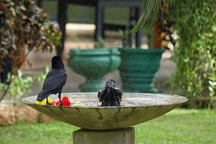 Wildlife Photography Canon 7DmkII SriLanka Bentota Crow Bath Washing Water Spraying Washing Flower Grass First Eyeem Photo