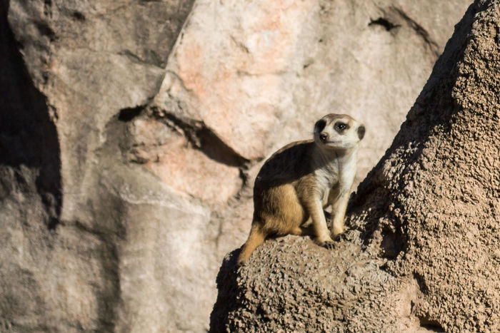 Meerkat Suricata Suricatta Temaiken Animal Themes Animal Wildlife Close-up Mammal One Animal Outdoors Rock - Object Suricata