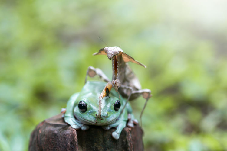 tree frog and mantis Close-up Animals In The Wild Animal Wildlife Animal One Animal Animal Themes Focus On Foreground Invertebrate Day Insect Nature No People Plant Green Color Outdoors Selective Focus Animal Body Part Zoology Animal Antenna Growth Animal Eye
