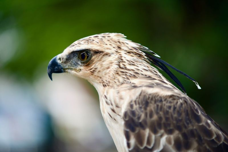 Long -crested brawn Hawk Eagle Thailand Nikon D610 + 75-150 f3.5 ais manual lens Animals In The Wild Bird Photography Eagle Falcon Hawk Nikon Manual Lens Nikon Series E 75-150mm F/3.5 AL-S Wild Animal Wildlife & Nature Wildlife Photography Big Birds Bird Eagle - Bird Eagle Eyes Eagle Portrait Eaglephotography Eagles Falcon - Bird Hawk - Bird Hawker Hawkers Hawks Manuallens Nikonphotography Wildlife