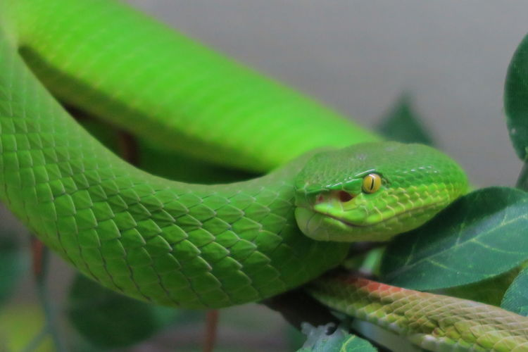 Close-Up Of Green Pit Viper