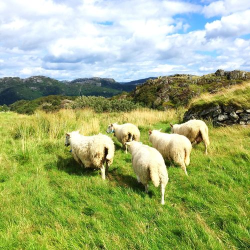 Sheep Schafe Mountains Island Norway Norge Hidra Aminals Cute
