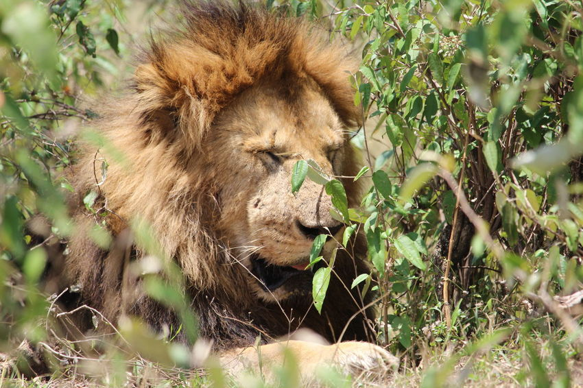 Africa Animals Kenya Landscape Lion Lion Hunting Lions Masai Mara Nature Nature Photograhy Nature Photography Safari