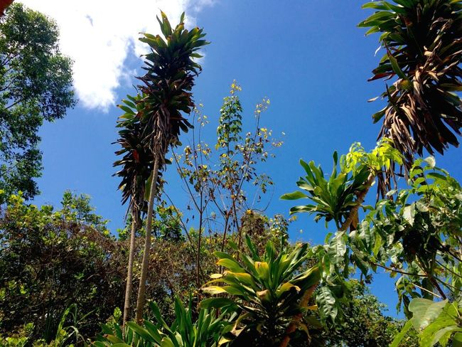 Palm Tree Nature Green Color Beauty In Nature Tree Tranquil Scene Plant Tranquility Clear Sky Tropical Climate Scenics No People Outdoors Botany Green Color Plant Leaf Leaf Vein Coqueiros Povoadoboahora Maranhão