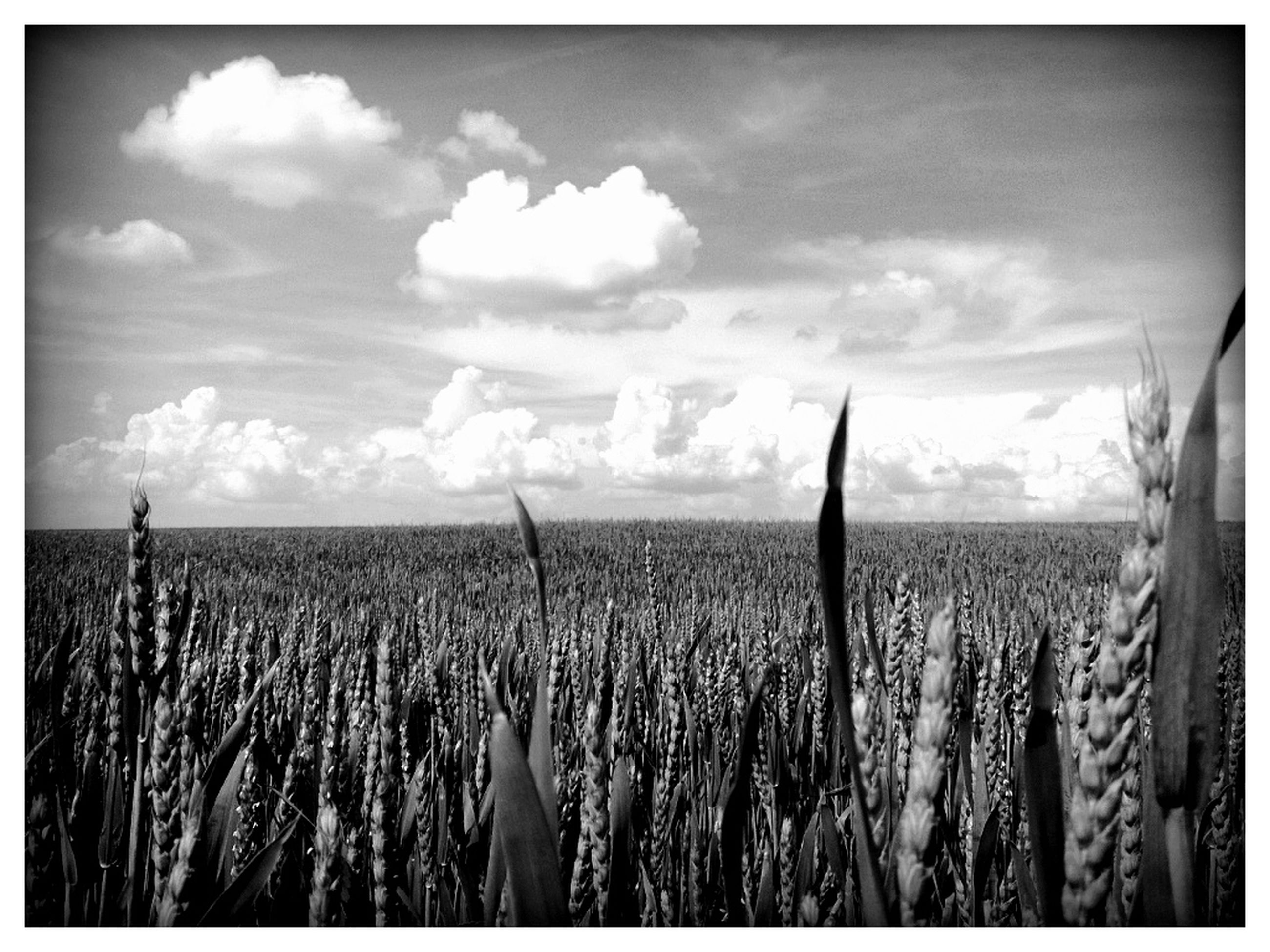 transfer print, agriculture, sky, field, rural scene, auto post production filter, farm, crop, landscape, tranquil scene, tranquility, nature, cloud - sky, growth, scenics, beauty in nature, panoramic, plant, cloud, grass