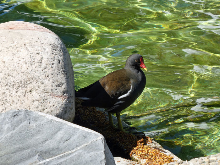 High angle view of dove-bird perching on rock by lake